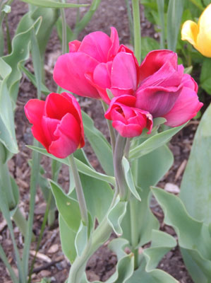 bulb, bulbs, flowering, spring, fall, pictures, images