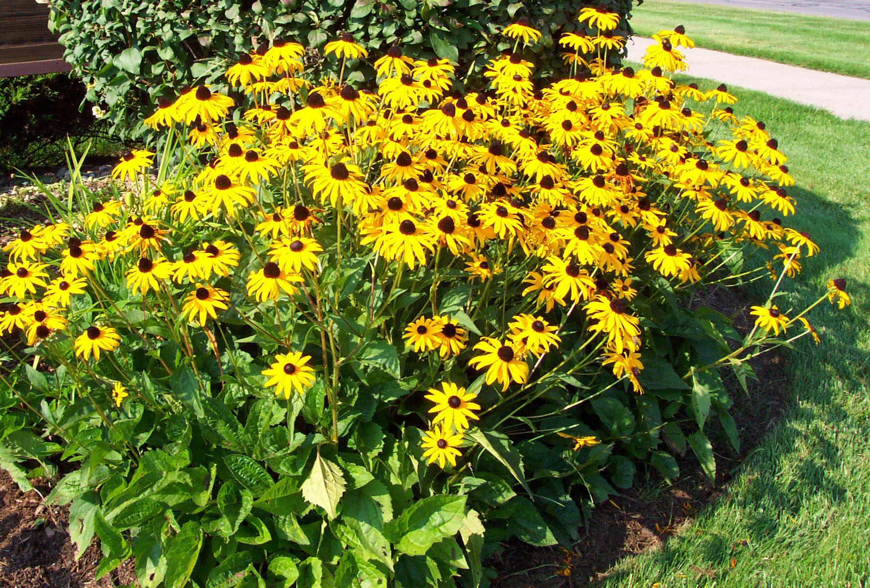 How to grow black eyed susan plants by garden hobbies Black eyed susans