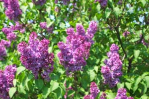lilac, bush, shrub, flowers, transplanting