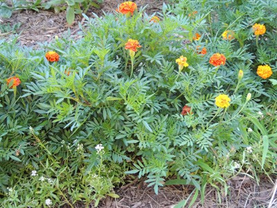 The Greatest Guide To Growing Marigolds: Tips And Tricks - Gardening Channel