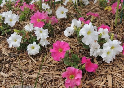 How To Grow Petunias Petunia Plants Seeds By Garden Hobbies