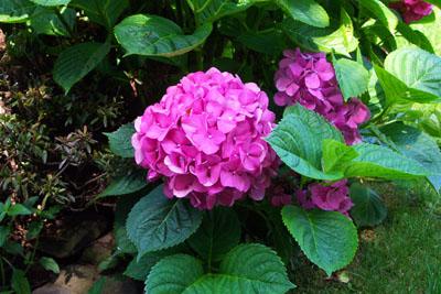 Garden hobbies how to grow hydrangea flower bushes how to grow and care for hydrangea bushes mightylinksfo