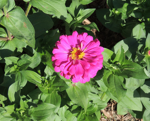 Zinnia Zinnias Flower Flowers Seeds Plants Growing